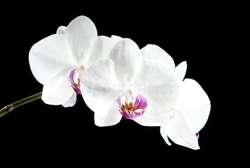 美丽的兰花在黑暗的背景,花被突出开了花,兰花开了花,兰科,绿色,黑,桃红色,紫色, 库存照片