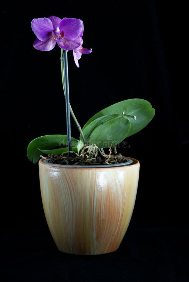 美丽的兰花在黑暗的背景,花被突出开了花,兰花开了花,兰科,绿色,黑,桃红色,紫色, 库存图片