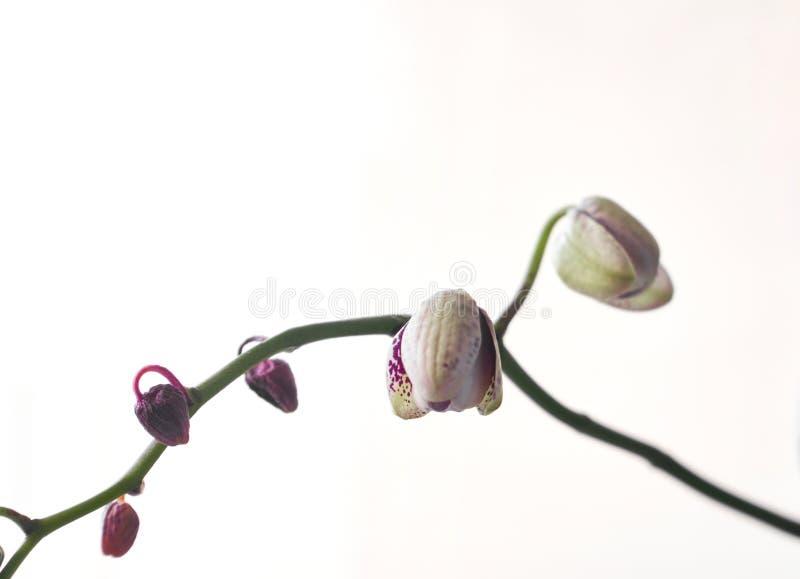 美丽的兰花植物兰花花,隔绝在白色背景起点 皇族释放例证