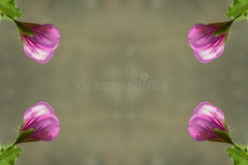美丽的桃红色天竺葵,大竺葵 库存照片