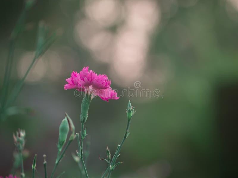 美丽的桃红色康乃馨的领域;在背景日落的开花的花 免版税库存照片