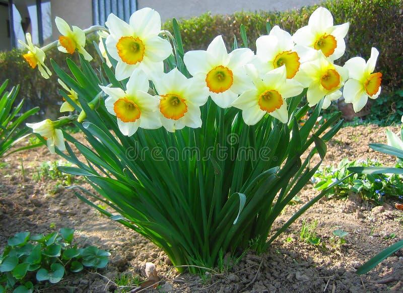 美丽的水仙,黄水仙 免版税库存图片