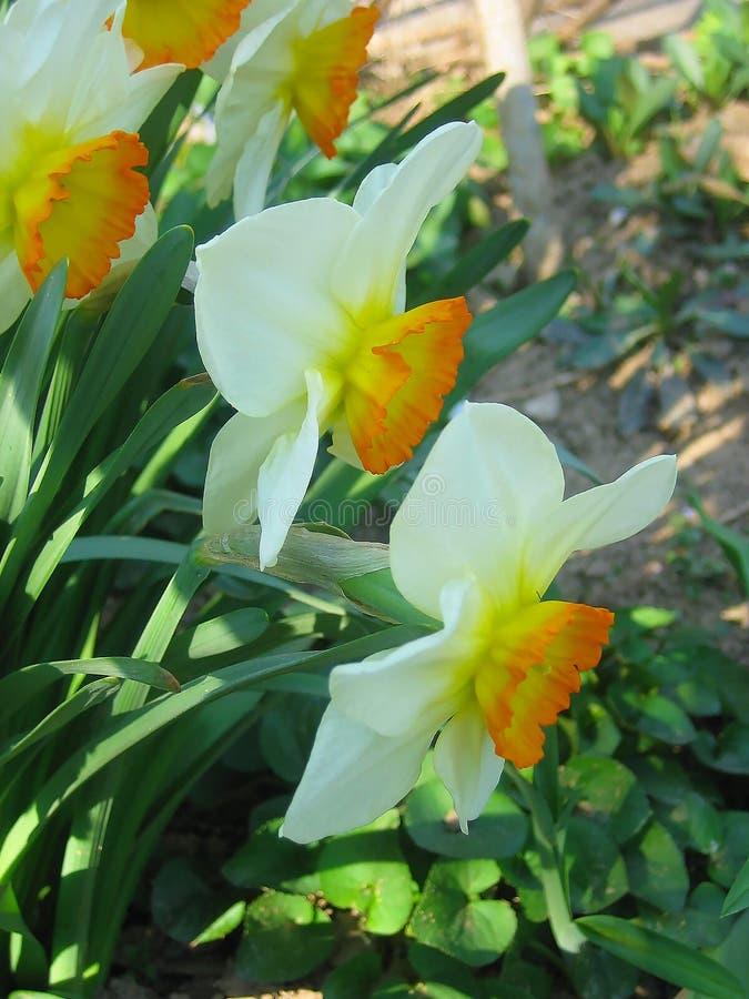 美丽的水仙,黄水仙 免版税库存照片