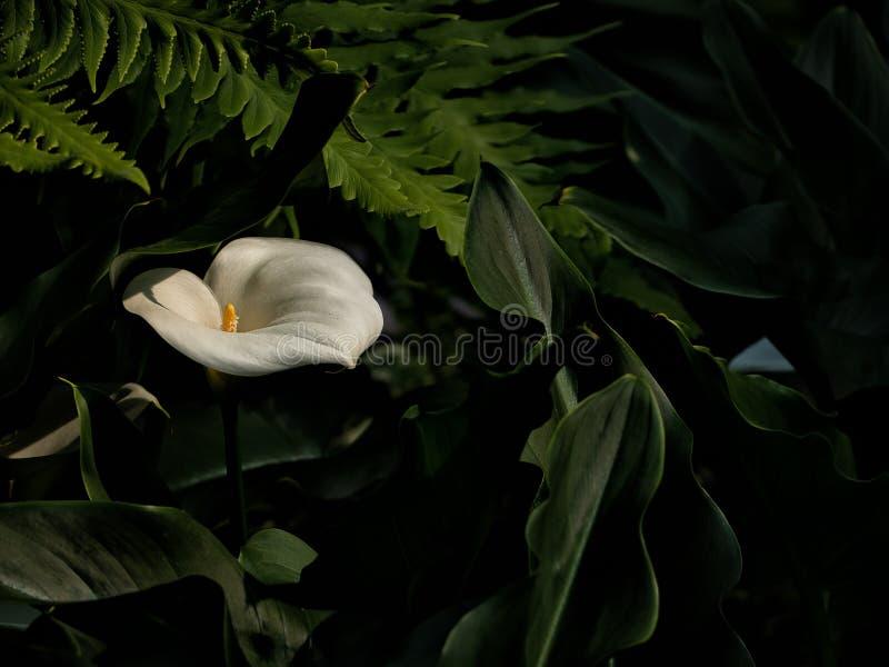 美丽的水芋百合,与绿色叶子的白花 图库摄影