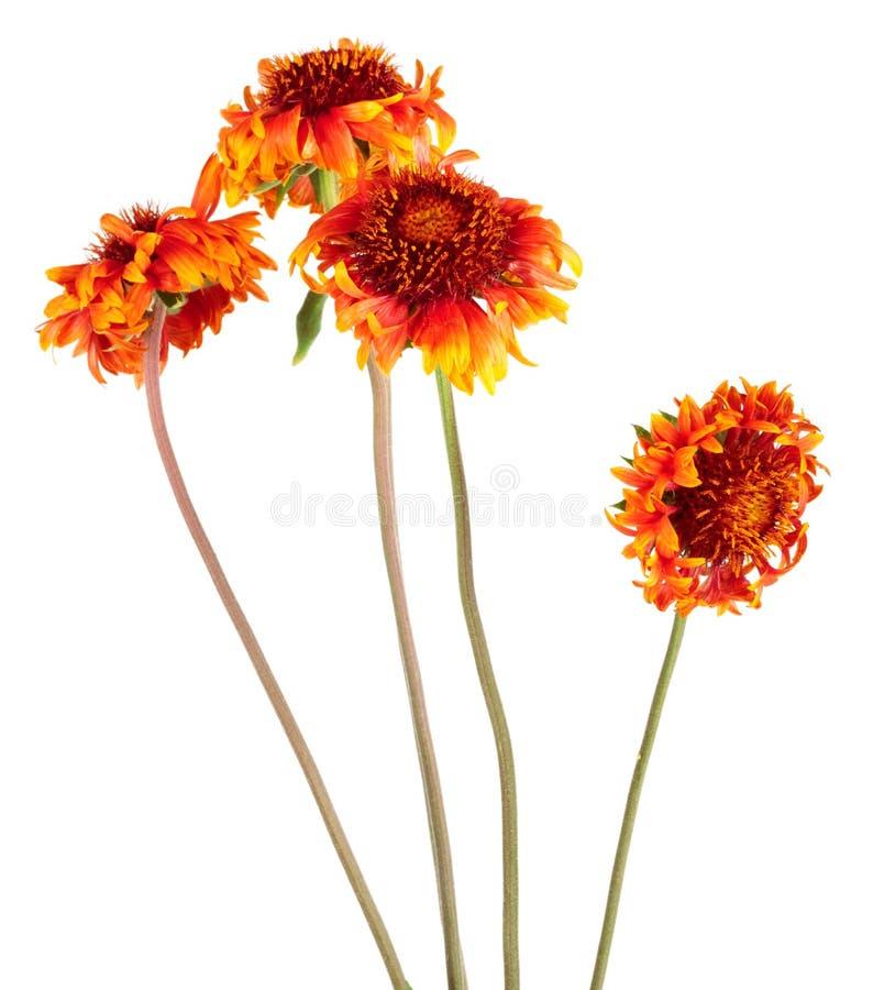 美丽的明亮的红色花天人菊属植物coahuilensis,家庭菊科 库存照片