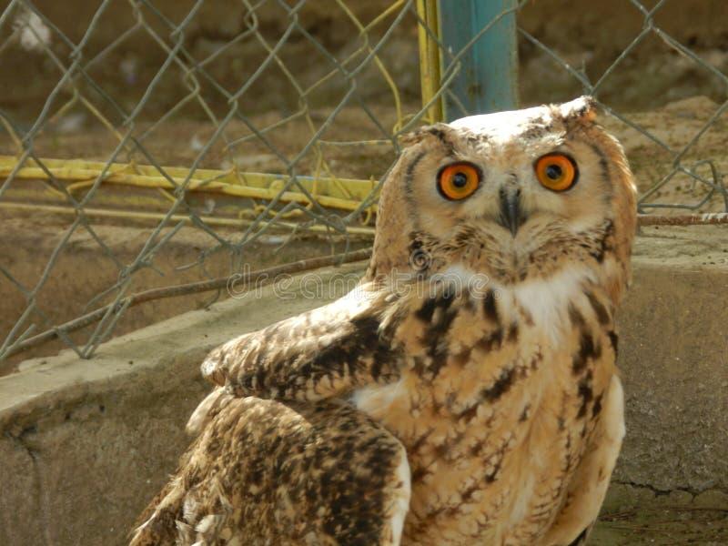 美丽的猫头鹰在动物园庭院里 库存图片