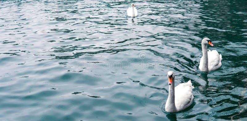 美丽的白色天鹅在水晶蓝色湖,Zurich湖游泳 库存照片