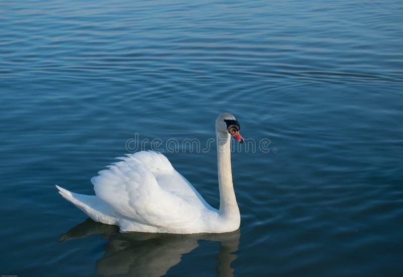 美丽的白色天鹅,疣鼻天鹅,游泳在湖的大海 免版税库存图片