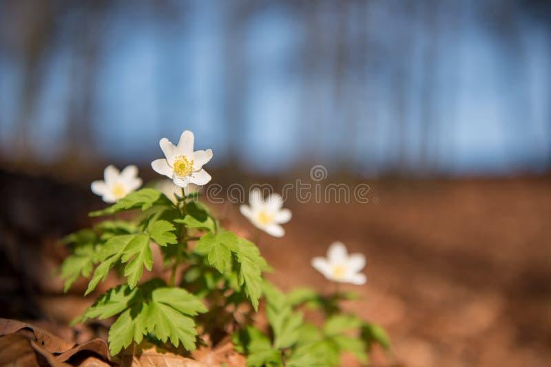 美丽的白色银莲花属在天空蔚蓝前面的森林里 库存图片