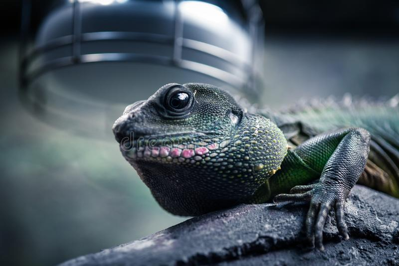 美丽的蜥蜴在它的自然环境 图库摄影