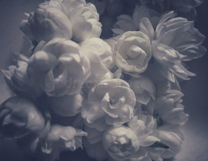 美丽的茉莉花开花与审美神色的图片 免版税库存图片