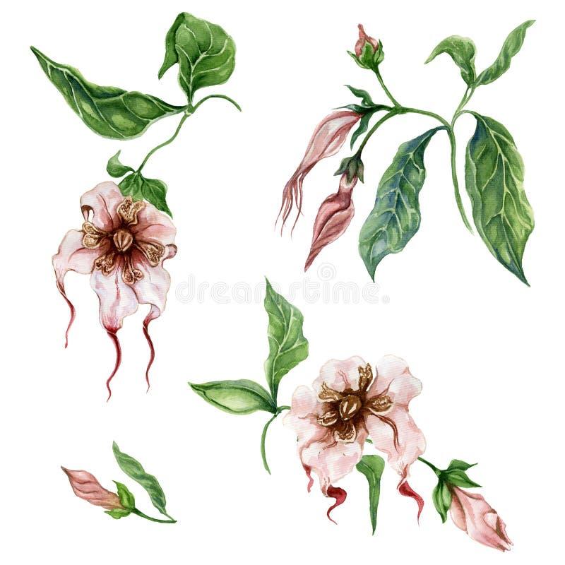 美好的异乎寻常的花卉在枝杈的集合Strophanthus或蜘蛛发辫花有叶子的 背景查出的白色 皇族释放例证