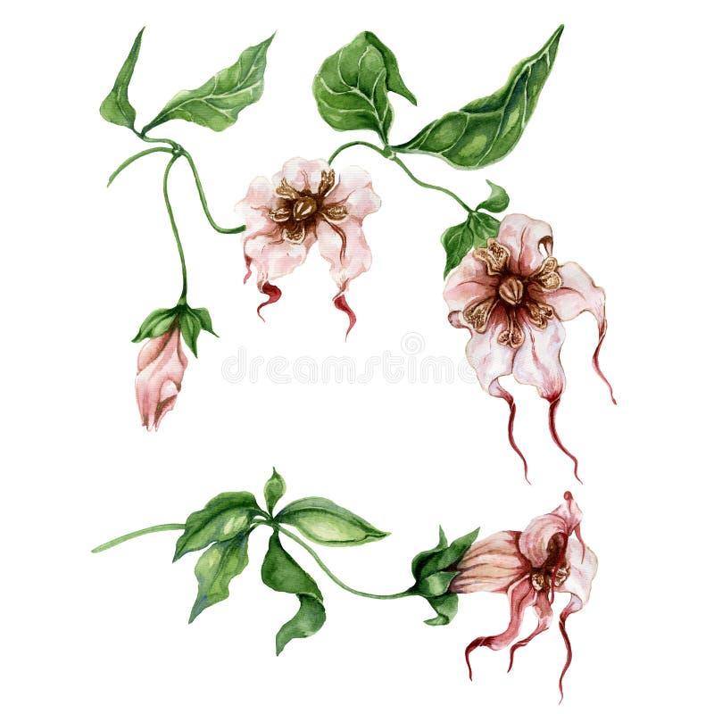美好的异乎寻常的花卉在枝杈的集合Strophanthus或蜘蛛发辫花有叶子的 背景查出的白色 向量例证
