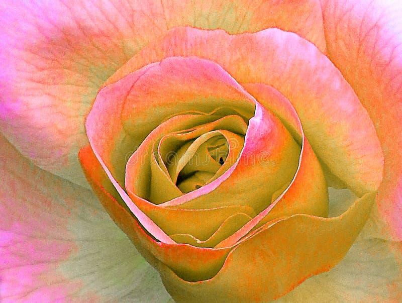 美好的精美夏天桃红色杂种茶玫瑰花瓣开花 免版税库存照片