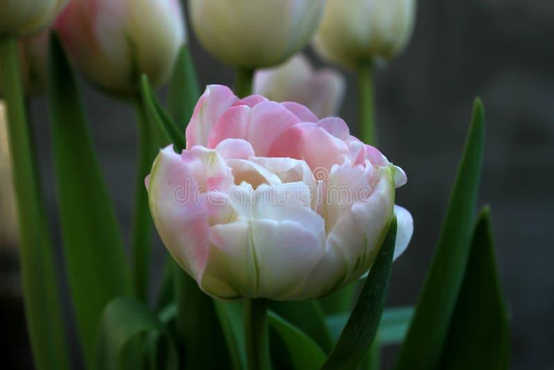美好的精美淡粉红的新自然郁金香春天 库存照片