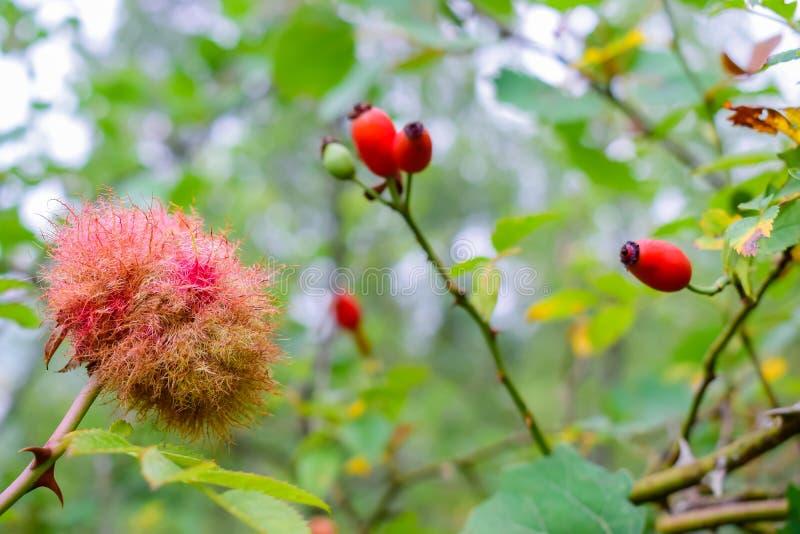 美好的玫瑰色bedeguar胆汁特写镜头在枝杈野玫瑰果的在秋天期间 免版税库存照片