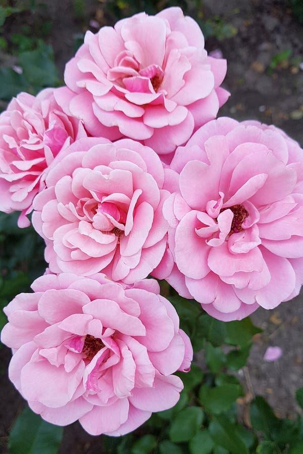 美好的花粉红色上升了 库存图片