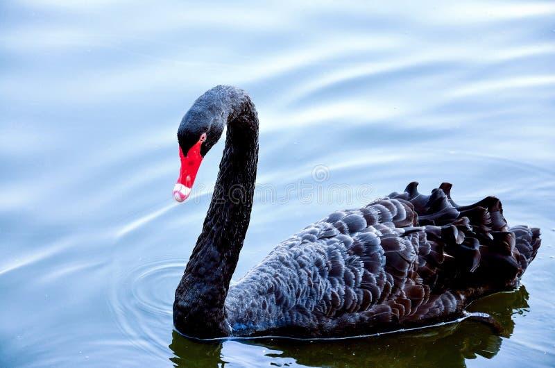 美好的黑天鹅游泳在湖 免版税库存照片