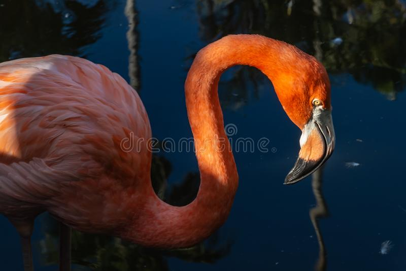 美国火鸟头和脖子画象接近的照片  库存照片