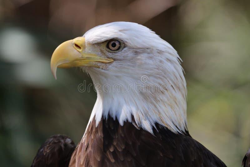 美国秃头鸟老鹰国家美国 库存图片
