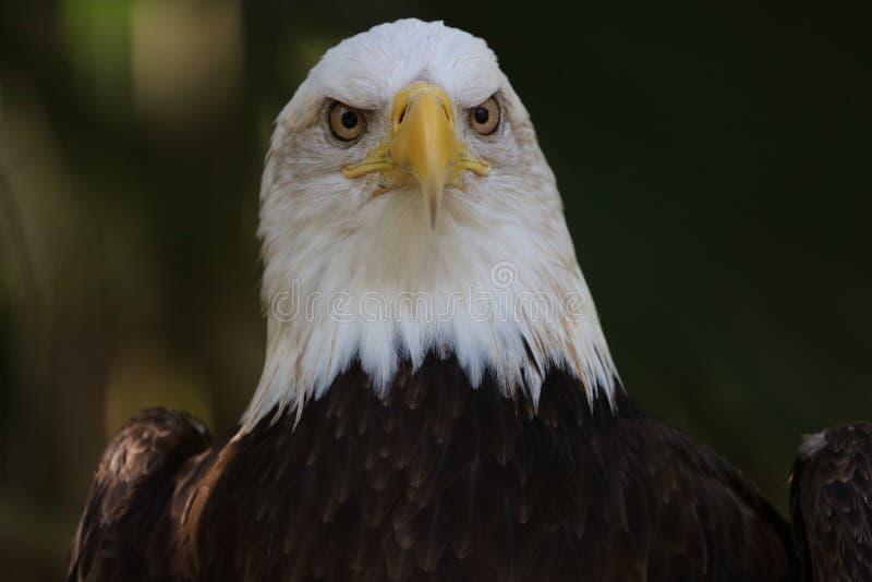 美国秃头鸟老鹰国家美国 免版税库存照片