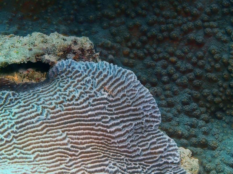 石珊瑚 库存照片