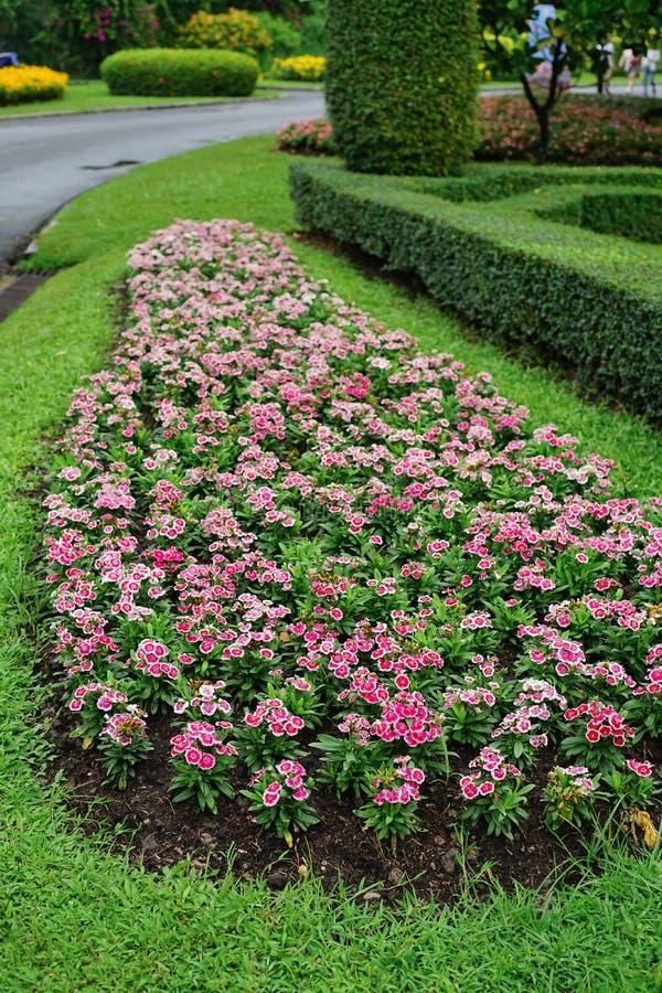 石竹barbatus或甜威廉花在庭院里 库存照片