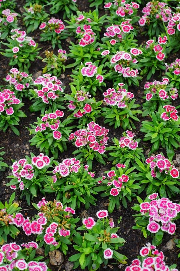 石竹barbatus或甜威廉花在庭院里 免版税库存照片