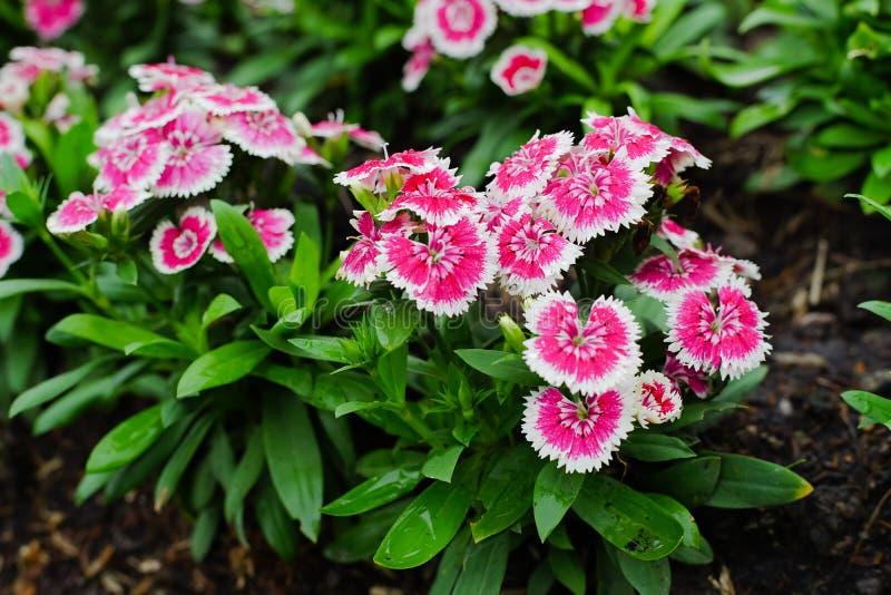 石竹barbatus或甜威廉花在庭院里 库存图片