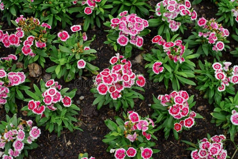 石竹barbatus或甜威廉花在庭院里 免版税库存图片