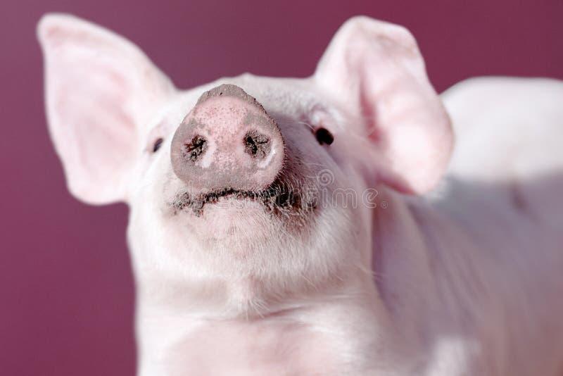猪的口鼻部 免版税图库摄影
