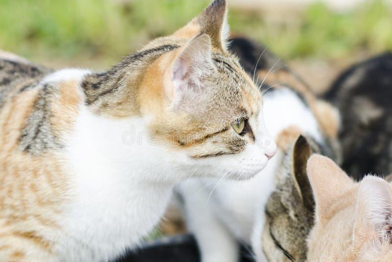 猫吃猫食 吃肉片从板材的大猫和小小猫 我们看见桃红色舌头 装管嘴大猫 食物为 图库摄影