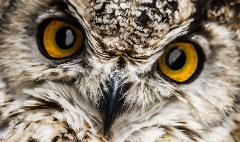 猫头鹰的额嘴和橙色眼睛的仔细的审视 库存照片
