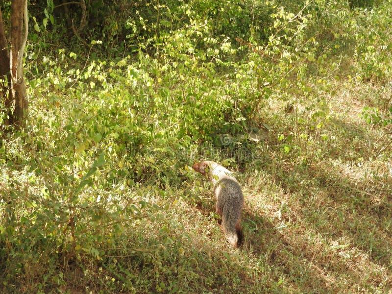 猫鼬,在斯里兰卡的海岛上 猫鼬的特写镜头画象 库存图片