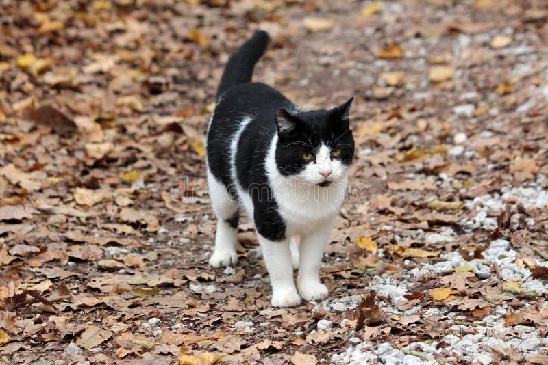 看好奇地在距离的黑白家猫,当站立在石渣用干落叶时盖的森林道路 库存照片