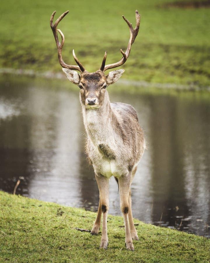 看直接照相机的美丽的雄鹿鹿 库存照片
