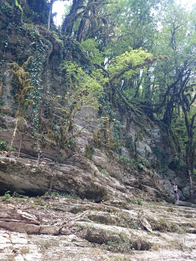 热带在一个密集的绿色森林里在一阴天 没有叶子的黄杨木潜叶虫,毁坏被蝴蝶箱子树飞蛾cudalima 库存图片