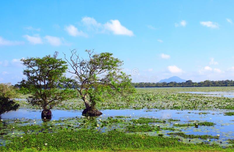 热带树和百合花在湖,斯里兰卡 免版税库存照片