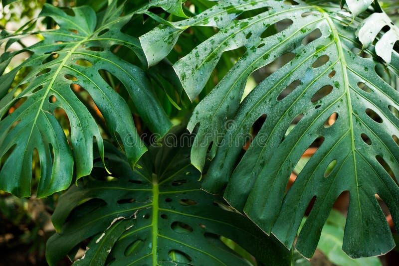 热带绿色在黑暗的背景,自然夏天森林植物概念离开 免版税库存照片