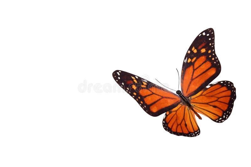 热带蝴蝶丹尼亚斯plexippus 背景查出的白色 免版税库存图片
