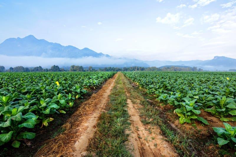 烟草种植园在农田里和生长做的雪茄和香烟的 免版税库存图片