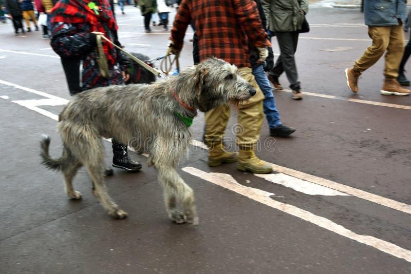 爱尔兰猎犬狗和所有者在圣帕特里克节庆祝在莫斯科 库存照片