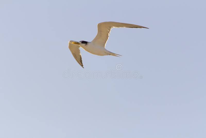 燕鸥鸟或胸骨燕属飞行在与天空蔚蓝的一好日子作为背景 图库摄影