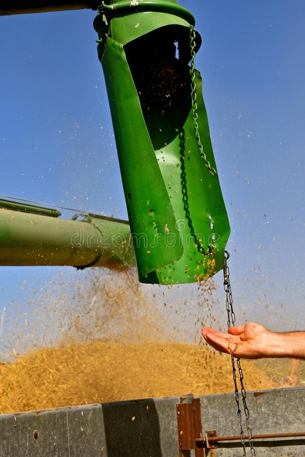 留下木钻的麦子捉住的仁 图库摄影