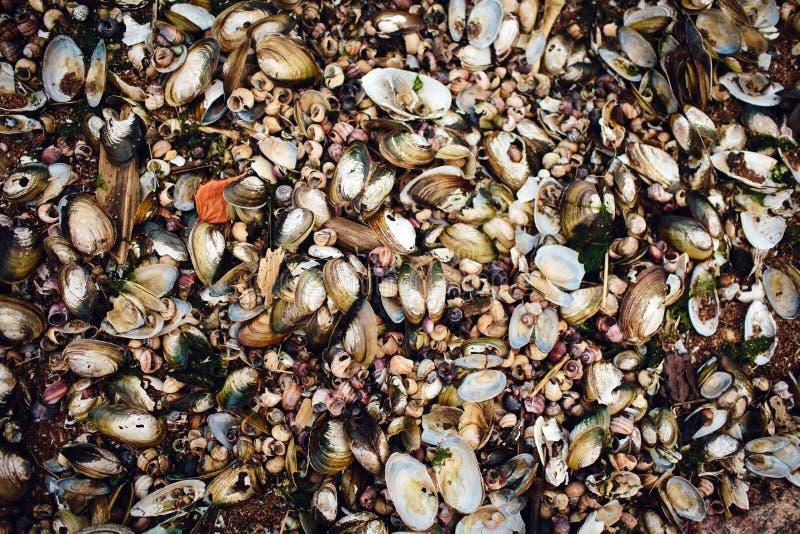 牡蛎许多海壳在岸说谎 免版税库存照片