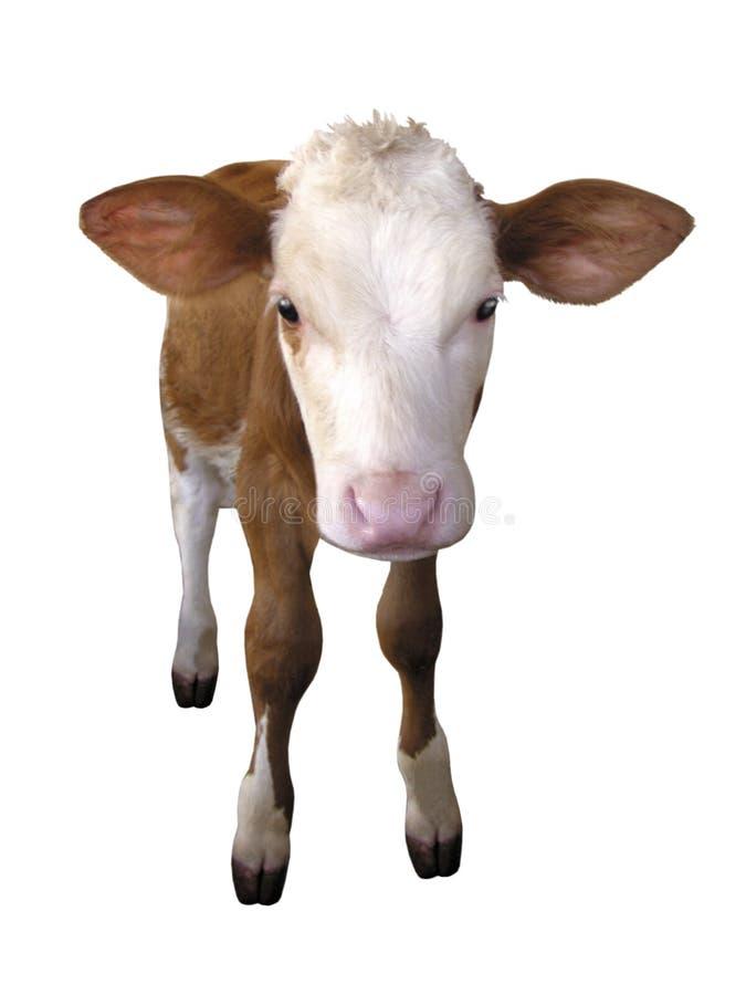 牲口-在白色背景隔绝的小牛母牛 免版税库存图片