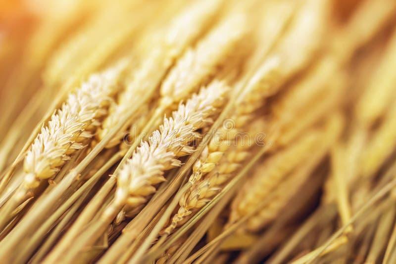 特写镜头成熟金黄麦子耳朵 在阳光下的金黄麦田 背景蓝色云彩调遣草绿色本质天空空白小束 库存照片