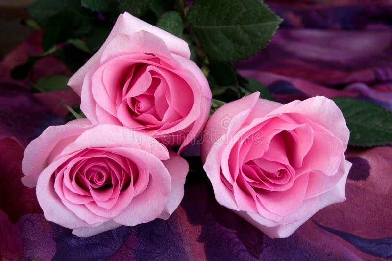 特写镜头观点的在五颜六色的纺织品背景的美丽的肉欲的桃红色玫瑰 免版税库存照片