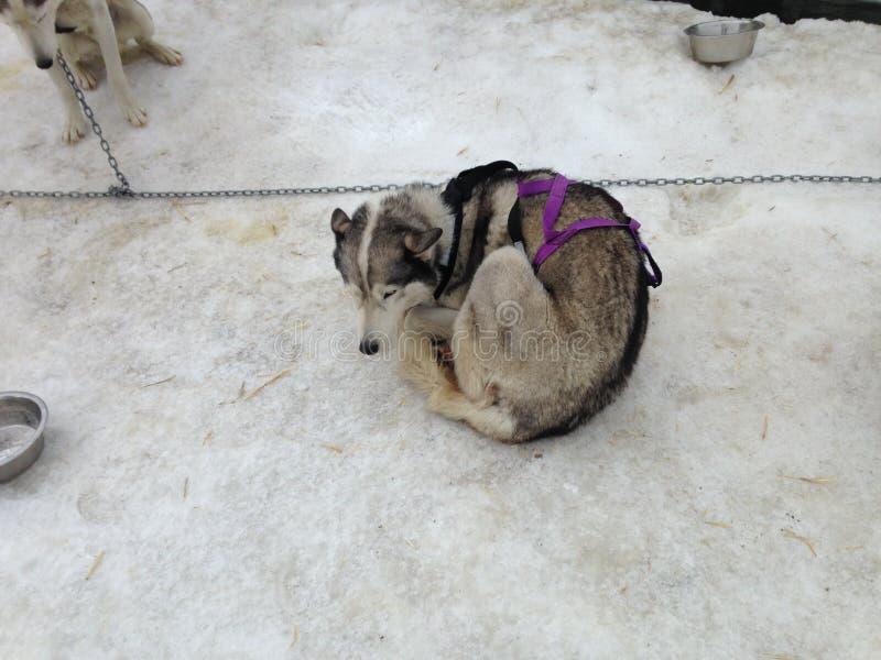 狗保持在狗Sledding之前温暖 免版税库存图片