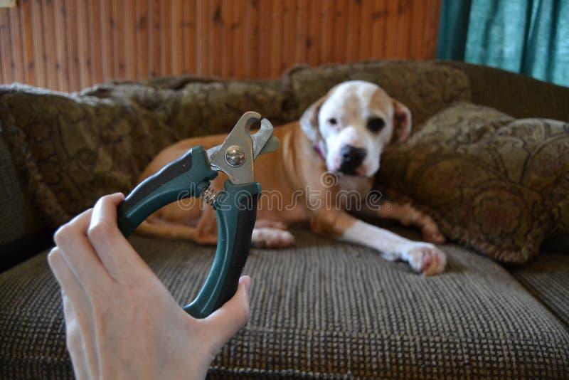狗坐长沙发,当人拿着指甲夹时 库存照片